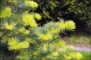 Пихта одноцветная (Abies concolor (Gordon & Glend.)  Lindl. ex Hindebr.)