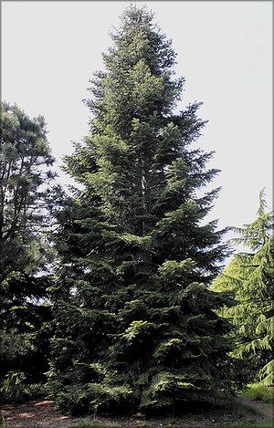 Пихта великая (Abies grandis (Douglas ex D. Don) Lindl.)
