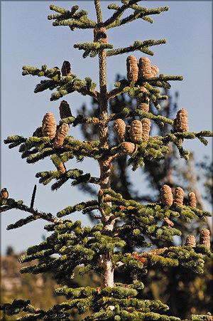 Пихта великолепная (Abies magnifica A. Murray)