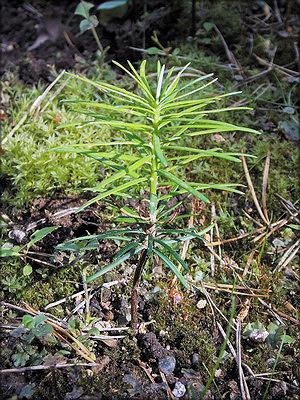 Пихта замечательная, или гималайская (Abies spectabilis (D. Don) Mirb.)