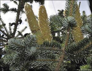 Пихта кефалинийская, или греческая (Abies cephalonica Loudon)