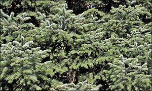 Пихта троянская (Abies equi-trojani (Asch. & Sint. ex Boiss.) Mattf.)