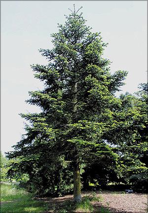 Пихта алжирская (Abies numidica de Lannoy ex Carrière)