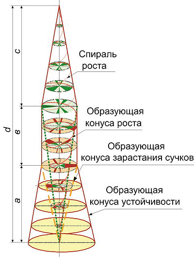 Рис. 2. Структурно-морфологическая модель ствола дерева по С. П. Исаеву