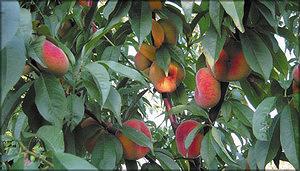Персик ферганский