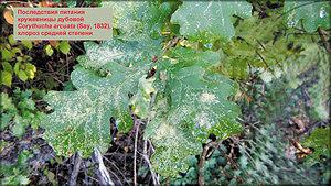 Последствия питания кружевницы дубовой. Хлороз средней степени