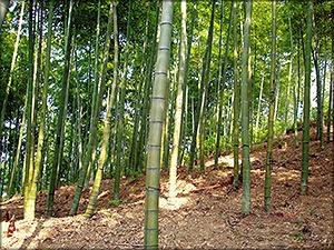 Рис. 3. Плантации эвкалипта (а) и бамбука Мосо (б)