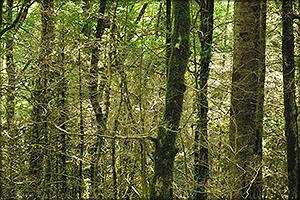 Тисо-самшитовая роща после объедания деревьев самшита огневкой