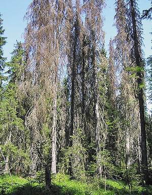 Такие участки усыхающих старовозрастных ельников выявлены по всему маршруту экспедиции