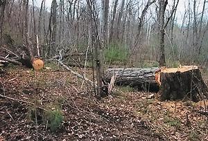 Самовольные рубки ценных пород деревьев (в данном случае дуба), осуществляемые мобильными бригадами. Из каждого срубленного ствола берется одно, максимум два бревна