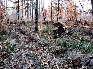 Экологические нарушения в Беловежской пуще, связанные с искусственной посадкой в местах, где ранее рос реликтовый естественный лес