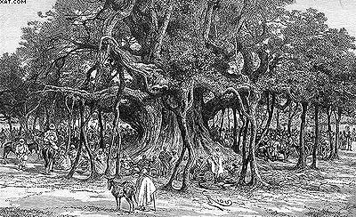 Баньян (Banyan), он же Фикус бенгальский (Ficus benghalensis)