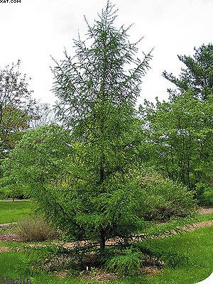 Larix gmelinii (Rupr.) Litv. Лиственница Гмелина, или даурская