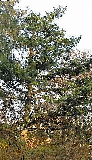 Larix leptolepis Gord. Лиственница японская