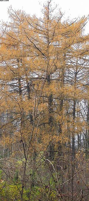 Larix sibirica Ldb. Лиственница сибирская