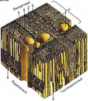 Схема микроскопического строения древесины лиственных пород