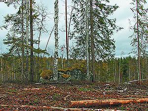 Ключевой биотоп – древостой вокруг крупных валунов