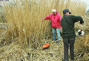 Рис. 5. Уборка урожая мискантуса на опытном участке
