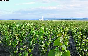 Рис. 3. Быстрорастущая плантация тополя в Европе