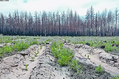 Стандартные культуры сосны, высаженные двухлетками с открытой корневой системой