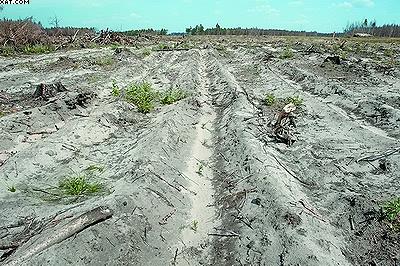 Нестандартные культуры сосны, высаженные однолетками с открытой корневой системой