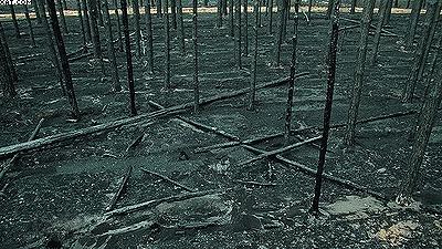 Эти лесные культуры сосны были созданы на гари 1972 года