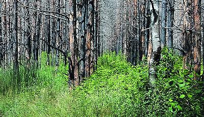 Такие же культуры сосны через год после пожара в июле 2010 года