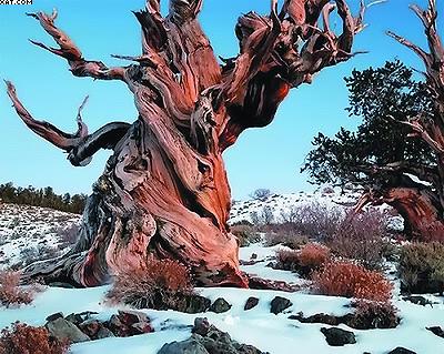 Сосна Мафусаил – самый старый живой организм на планете
