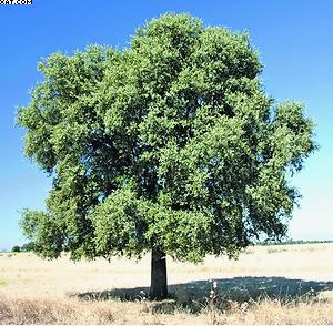 Дуб вечнозеленый