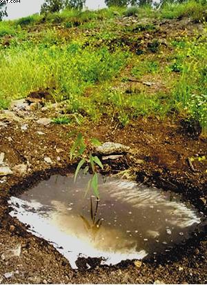 Рис. 4. Посадки новых деревьев
