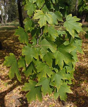Клён полевой (Acer campestre)