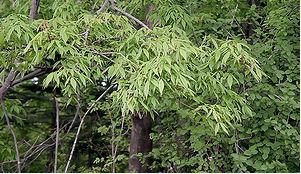 Клён маньчжурский (Acer mandshuricum)