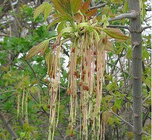 Клён ясенелистный (Acer negundo)