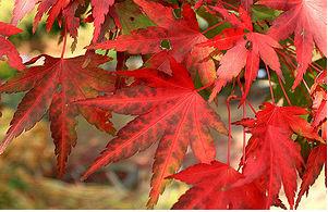 Клён дланевидный, или веерный (Acer palmatum)