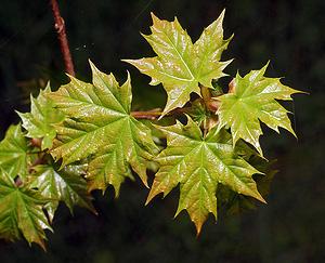 Клен остролистный, или платановидный (Acer platanoides)