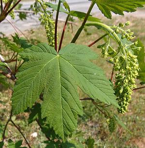 Клён ложноплатановый, или белый клён, явор (Acer pseudoplatanus)