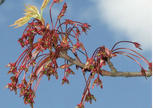 Клён красный (Acer rubrum)