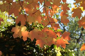 Клён сахарный (Acer saccharum)