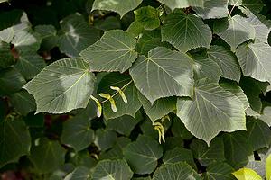 Клён зеленокорый (Acer tegmentosum)