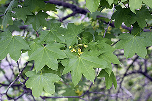 Клён туркестанский (Acer turkestanicum)