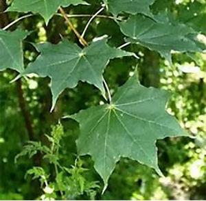 Клён моно-, или мелколистный (Acer mono)